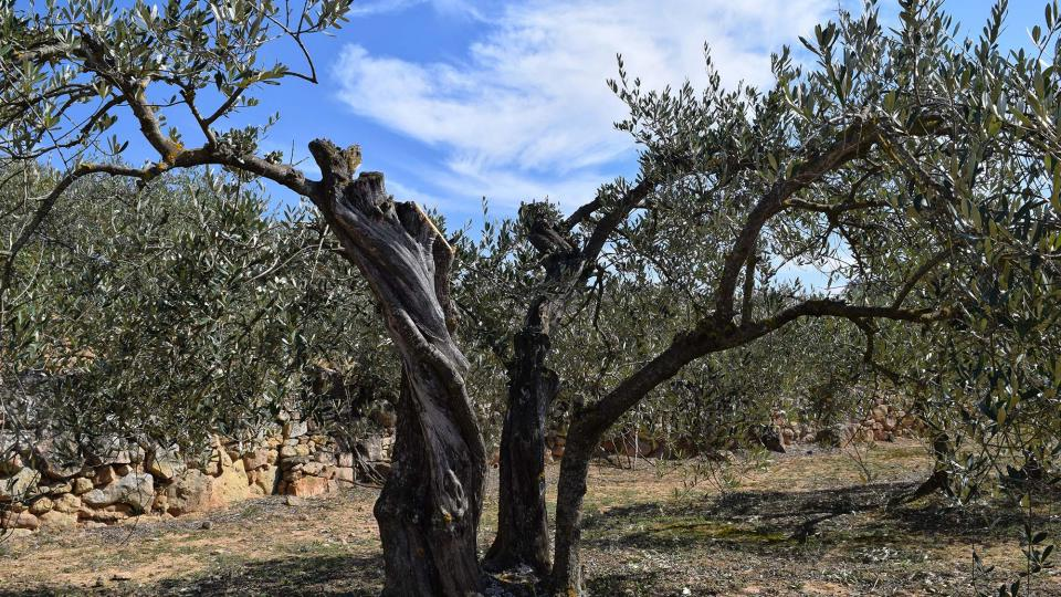 12.03.2017 olivers  L'Aguda -  Ramon Sunyer