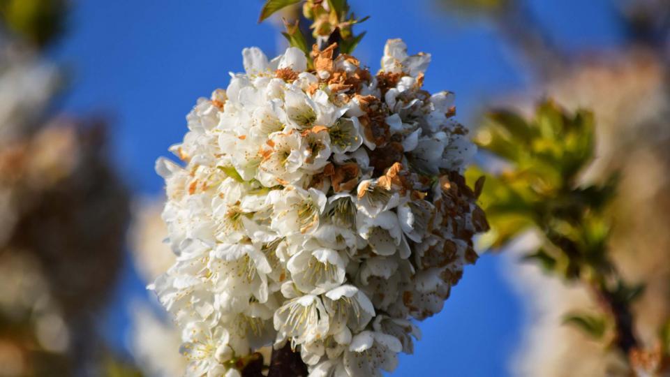 08.04.2017 cirerer florit  Pinós -  Ramon Sunyer