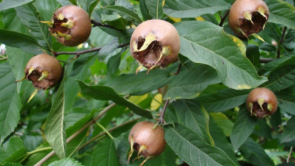 Nesprer (mespilus germanica) -