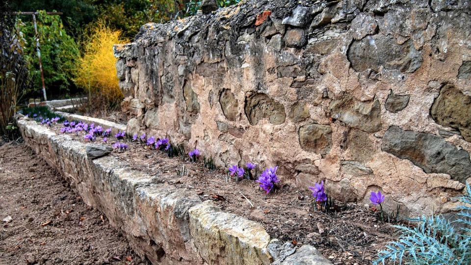 25.10.2015 Cultiu de safrà en un hort  Torà -  Ramon Sunyer