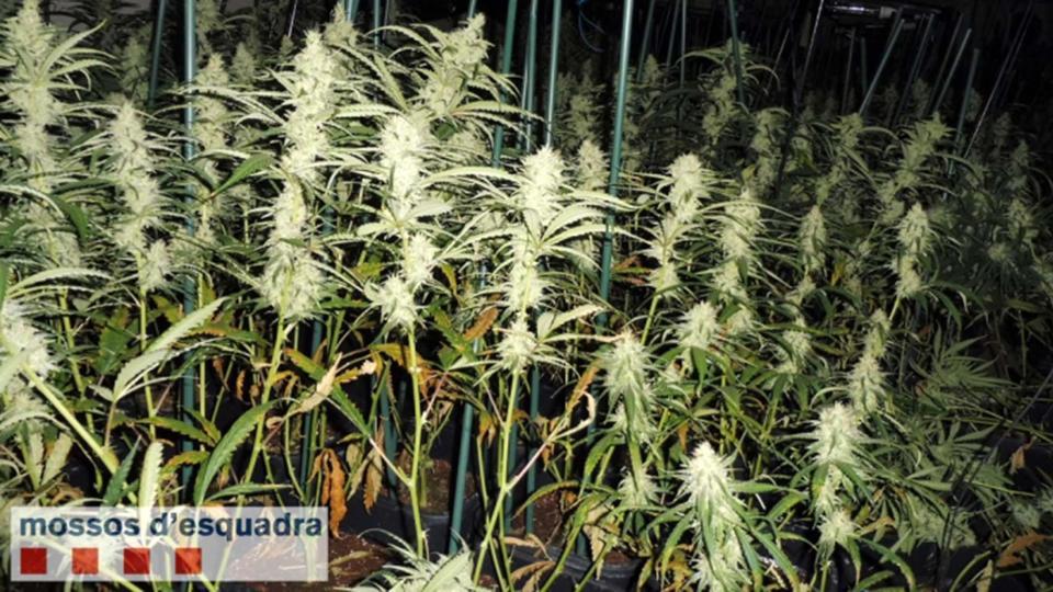 Detenen tres homes per cultivar prop de 2.000 plantes de marihuana a Torà