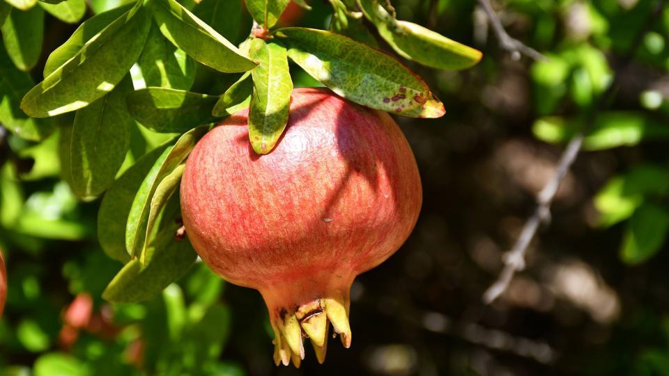 Magrana (fruit)