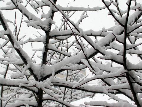 28.01.2006 Gruix de neu acumulat a les branques d'un arbre  Igualada -  Ramon Sunyer i Balcells