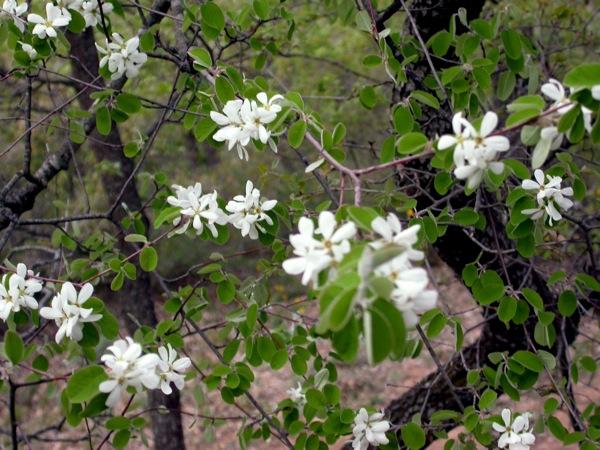 16.04.2006 Arbre florit  L'Aguda -  Ramon Sunyer