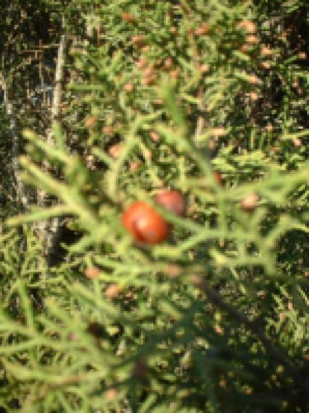 10.06.2006 Detall (Gàlbul del Juniperus)  Segarra -  Sara