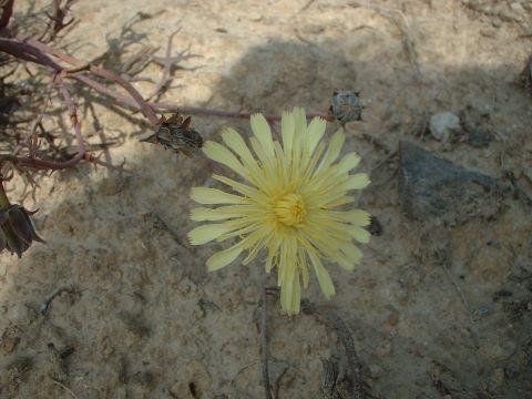 29.10.2006 Una flor  Segarra -  mariangels