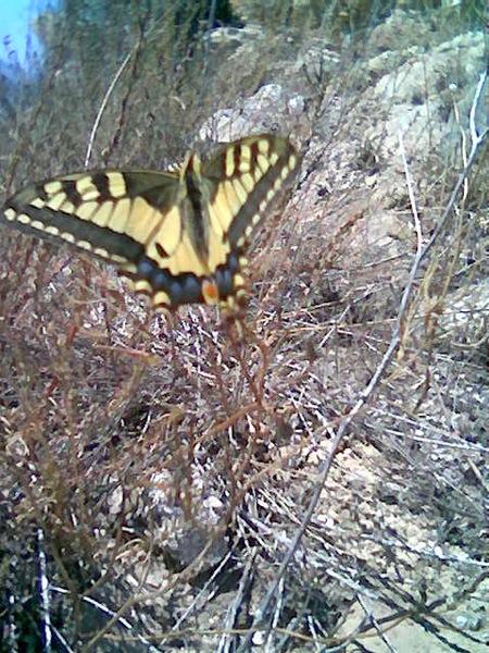 09.09.2007 Papilio Machaon(papilionidae)  Torà -  Sara Perez, Angela Sunyer