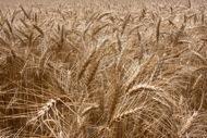 Camp de cereals