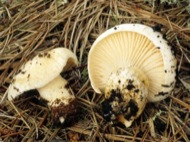Llenega blanca (Hygrophorus Glyocyclus)