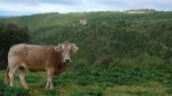 Llanera: Les vaques campen lliures pels boscos verges i solitaris de la vall del Llanera  Xavier Sunyer