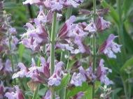 Sàlvia florida