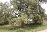 Sant Serni: Alzinera centenària  Ramon Sunyer