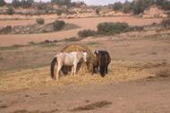 Sant Serni: Cavalls  Ramon Sunyer