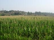 El blat de moro transgènic és un cultiu habitual