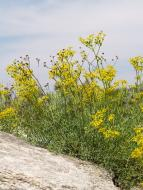 La ruda vera, ruda, herba de les bruixes o herba de bruixa (Ruta graveolens)