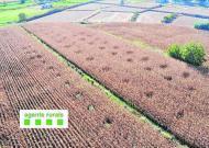 Les plantes de marihuana són fàcils de distingir entremig del blat de moro, des de l'aire