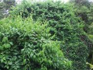 La ayahuasca, Banisteriopsis Caapi, és una liana que pot créixer massivament