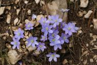 L'herba fetgera (Anemone hepatica)