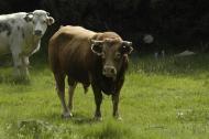 : Abril 2013. El toro de Vallferosa desafiant  Xavier