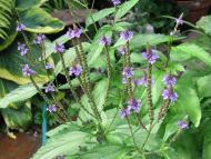 Berbena (verbena officinalis)