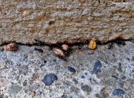 Torà: Les formigues guarden per a l'hivern  Carmen Aparicio