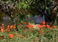 Torá: Roselles a la vora del riu de Torá  Carmen Aparicio