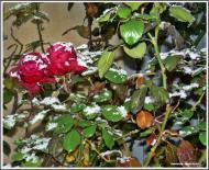 Torá: Roses i neu  Carmen Aparicio