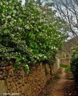 : Camí dels horts, arbres florits  Carmen Aparicio