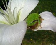 Torà: flor i granota  Carmen Aparicio