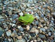 Torà: Vaig trobar una granota  Carmen Aparicio
