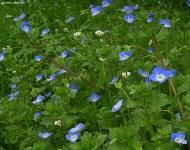 : Flor silvestre  Carmen Aparicio