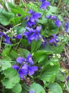 : violetes silvestre  Carmen Aparicio