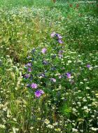: Flors silvestres  Carmen Aparicio