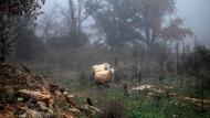 Llanera: ovelles  Ramon Sunyer