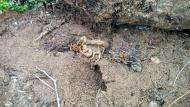 Vallferosa: estevat o escorpí  Ramon Sunyer