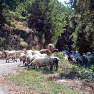 Llobera: ramat d'ovelles  Ramon Sunyer