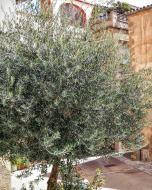 Castellfollit de Riubregós: olivera  Ramon Sunyer
