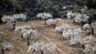 L'Aguda: ametllers florits  Ramon Sunyer