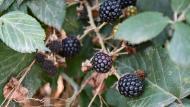 Torà: Les mores, fruit de l'esbarzer   Ramon Sunyer