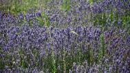 Sanaüja: Espígol o Lavanda (Lavandula angustifolia)  Ramon Sunyer