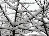 Igualada: Gruix de neu acumulat a les branques d'un arbre  Ramon Sunyer i Balcells