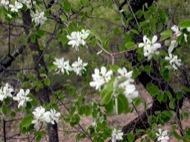 L'Aguda: Arbre florit  Ramon Sunyer