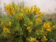 L'Aguda: Argelaga florida  Ramon Sunyer