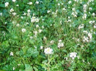 Torà: Garvianes florides  Josep Gatnau