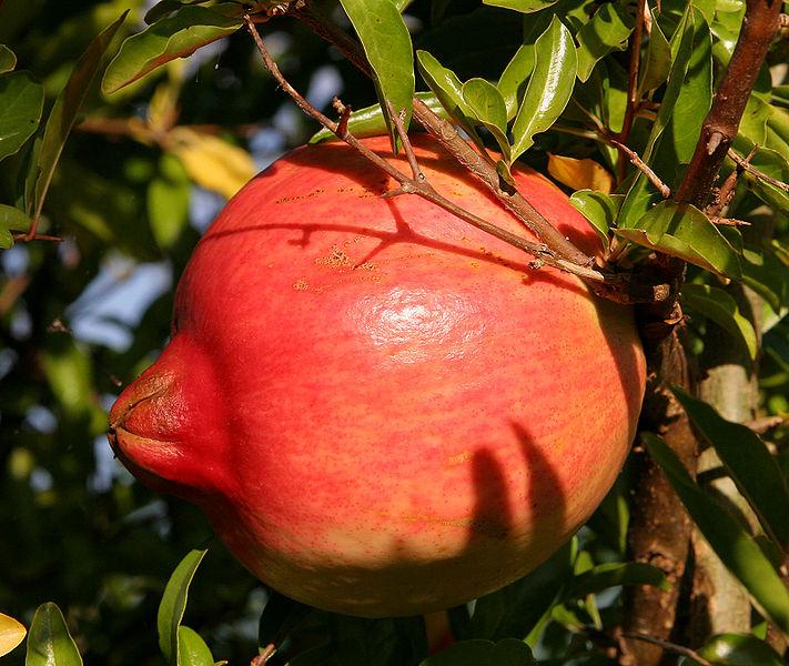 Magraner (Punica granatum)
