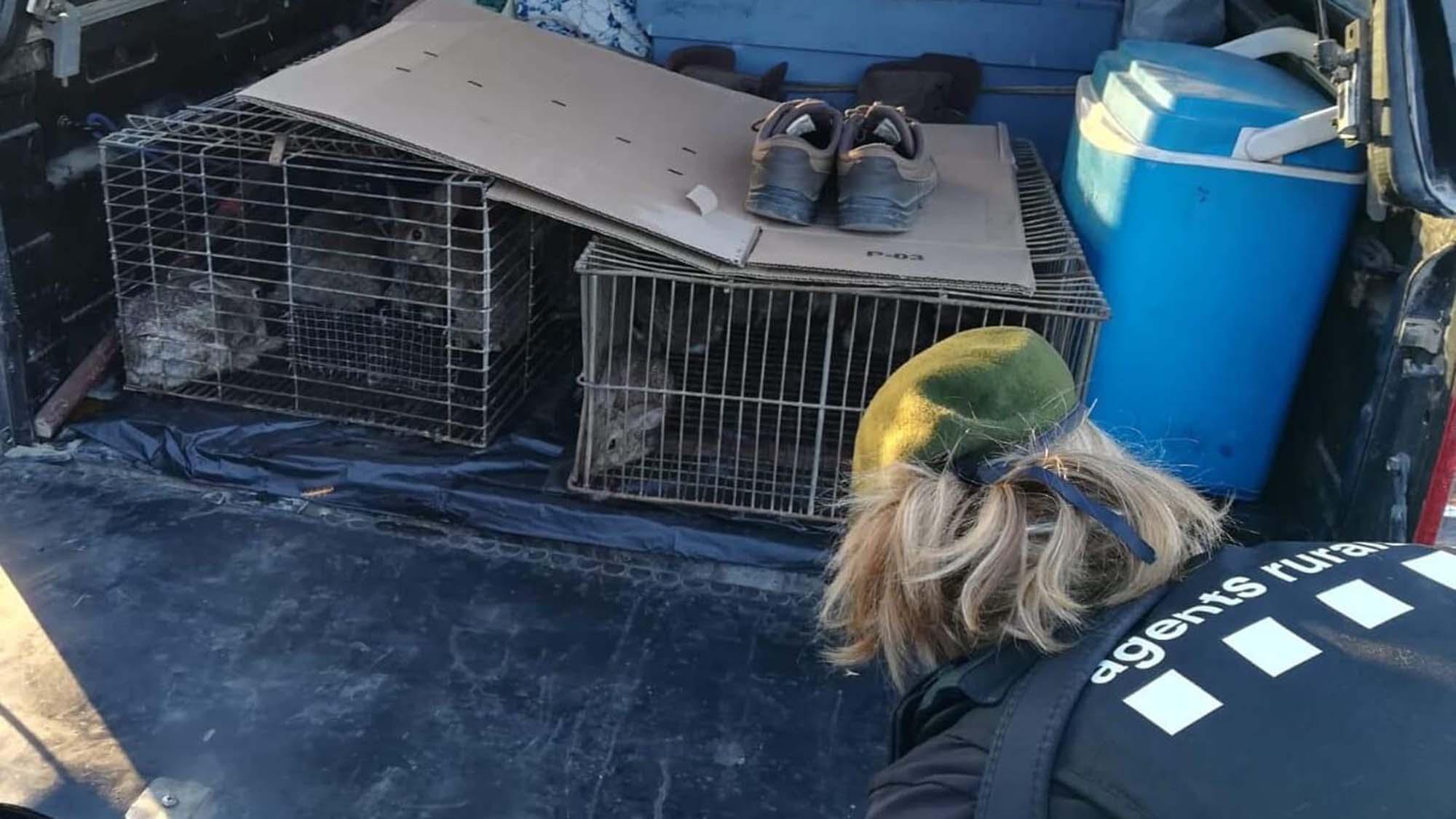 Agents Rurals denuncien dos caçadors per repoblar conills sense autorització dins una àrea privada de caça a Torà