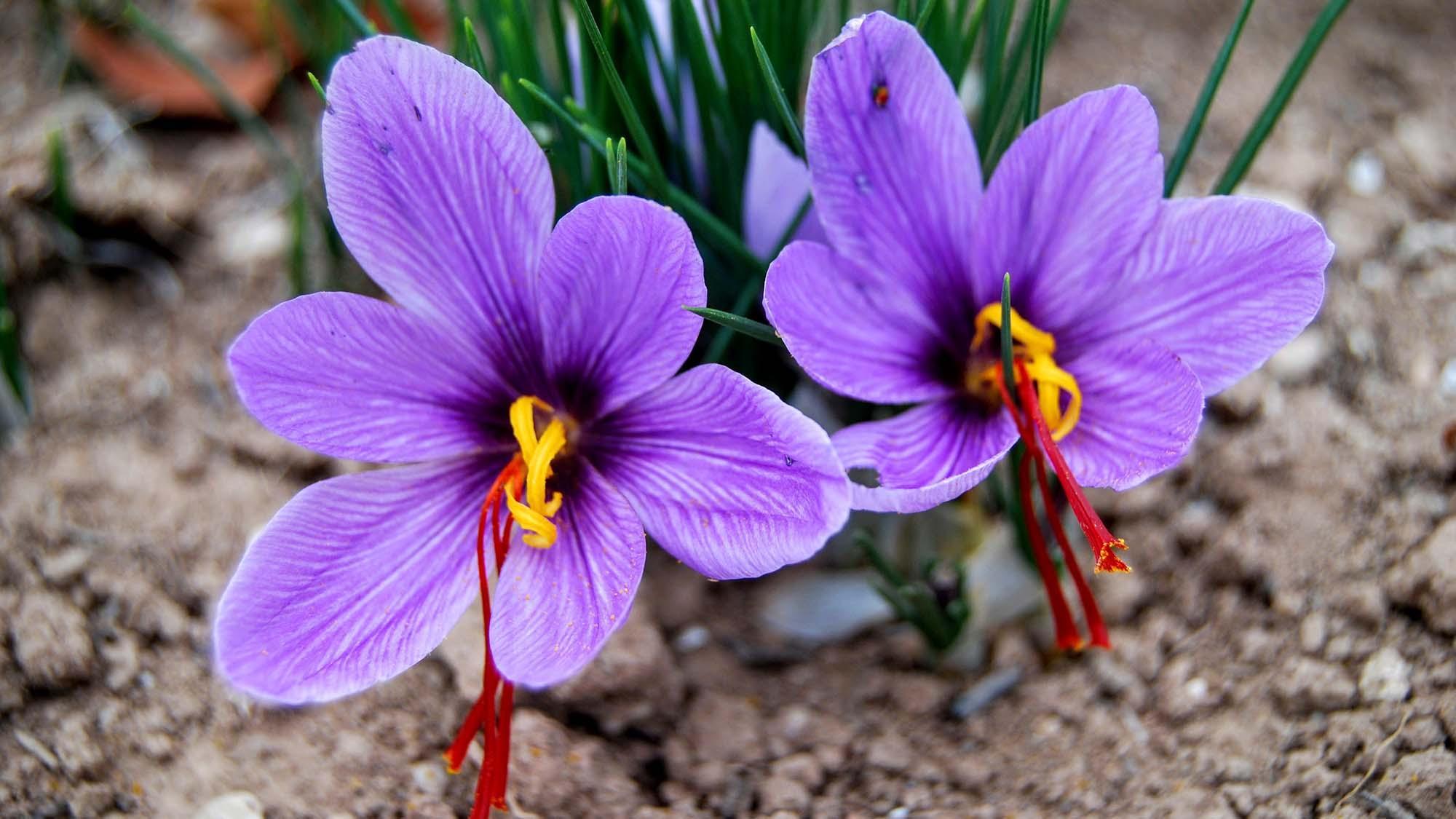Safrà (Crocus sativus)
